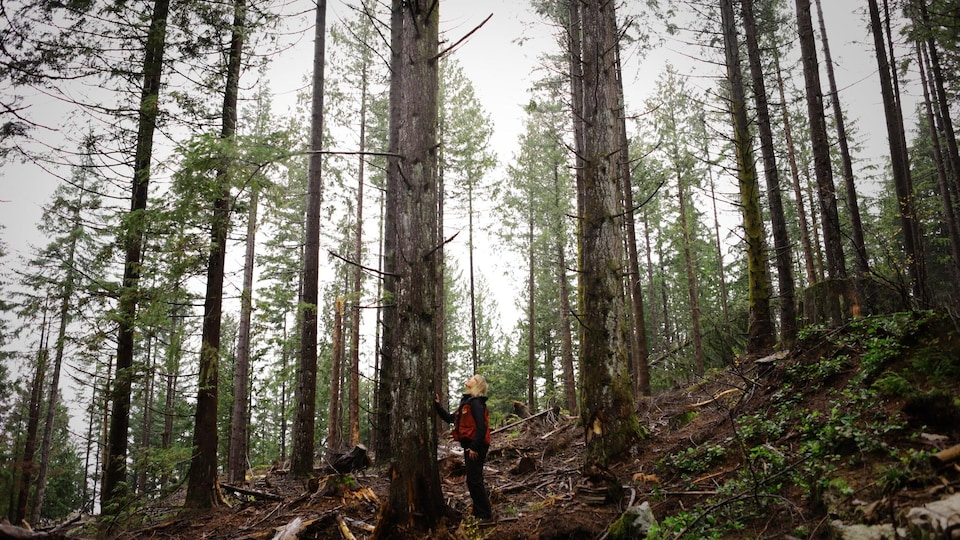 Susan Simard inspects the native trees in the forest