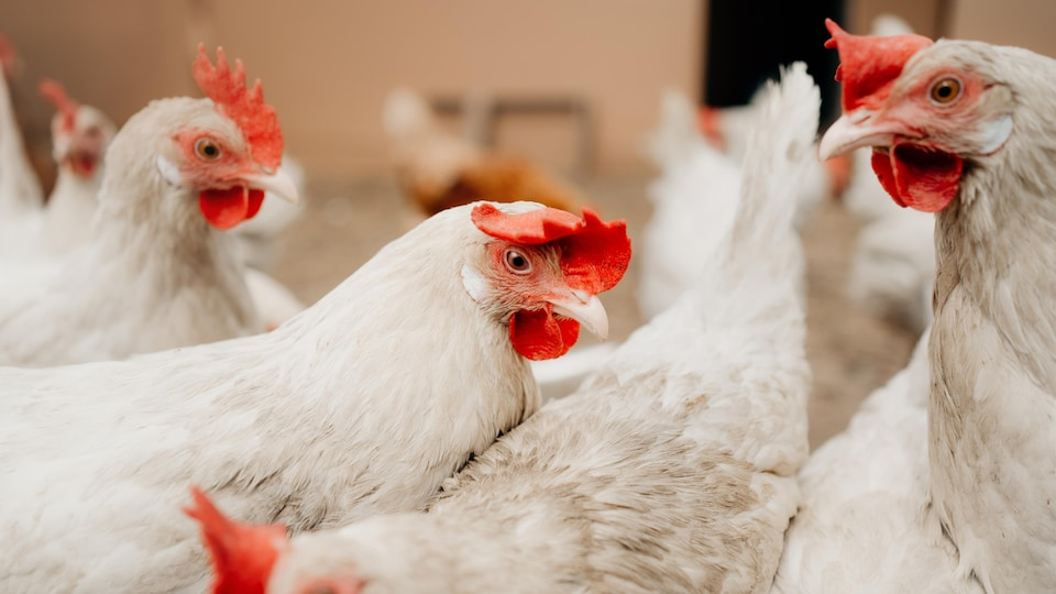 Thousands of chickens have been killed every day since the labor feud began in Exceldor.