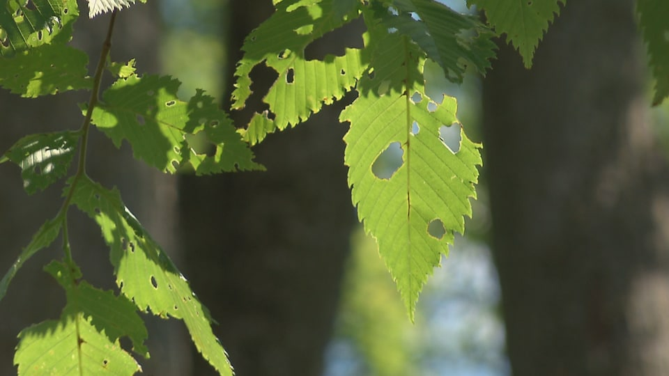 Leaves destroyed by a gypsy moth caterpillar at Neri Tremblay Park in Quebec.