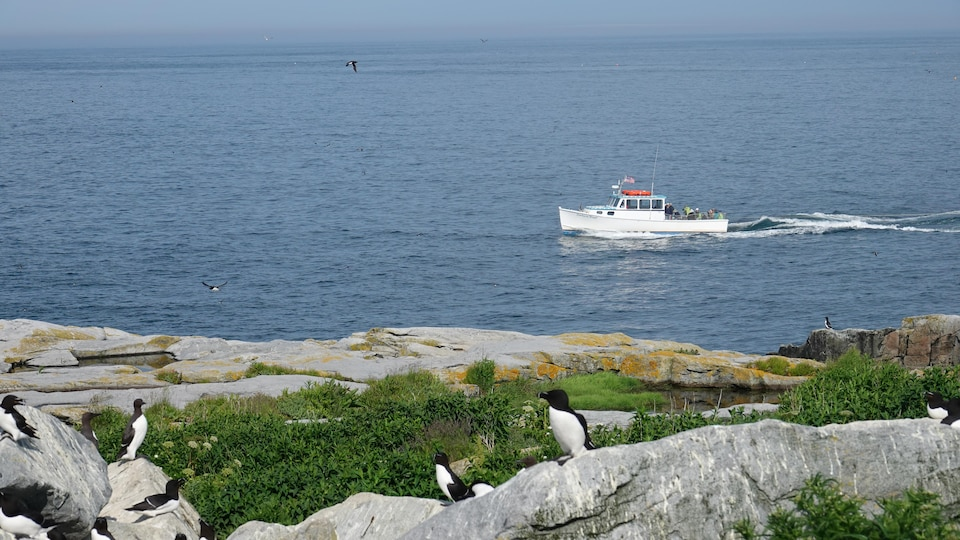 An American flag boat sails with tourists on board.  In the foreground, little penguins stand on the rocks.