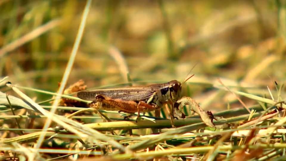 Biray grasshopper on a pile of grass.